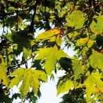 Çınar yaprakları, Engin Çakır